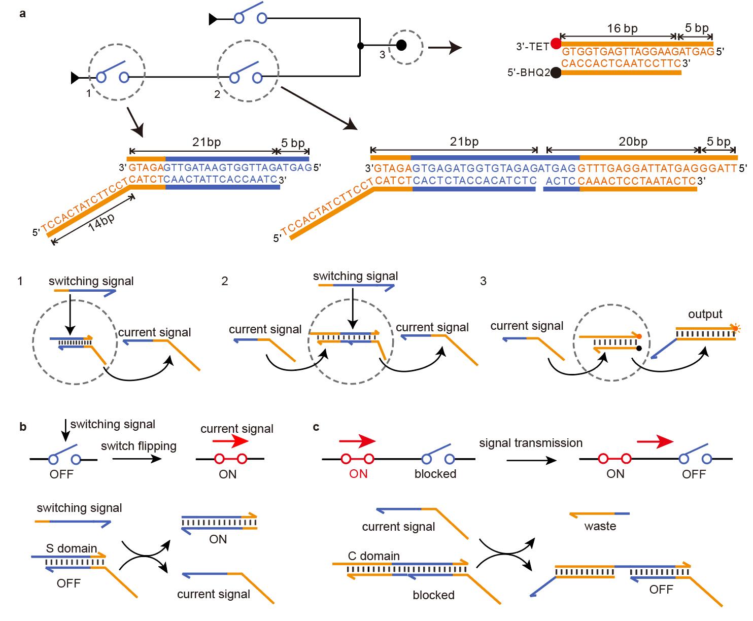 基于开关电路的DNA计算研究取得进展